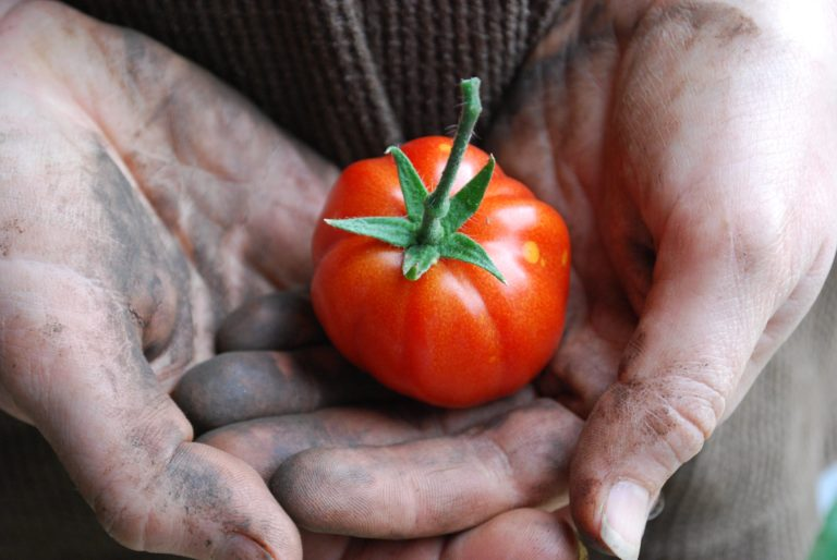 fresh harvested tomato in dirty hand