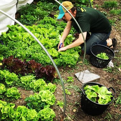 harvesting lettuce at Sustainabillies