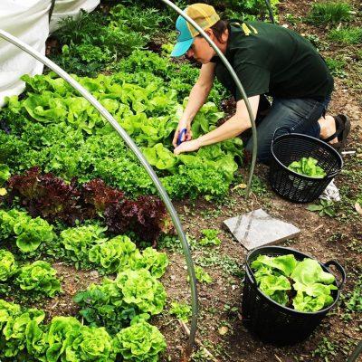 harvesting lettuce at Sustainabillies