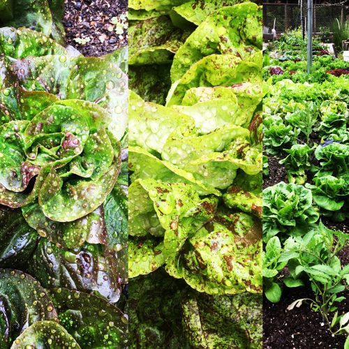 lettuces from Sustainabillies